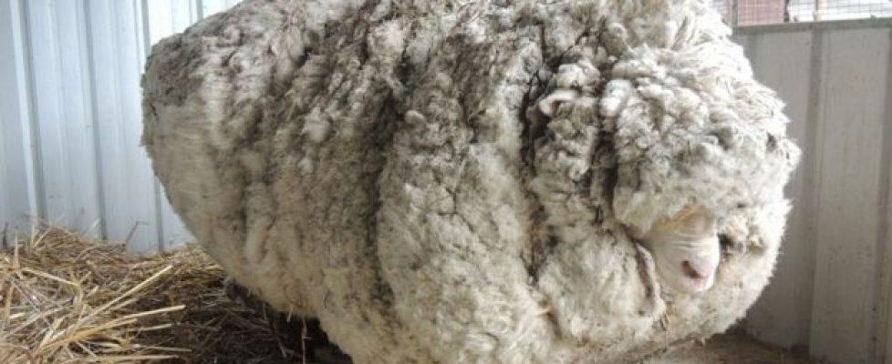overgrown sheep
