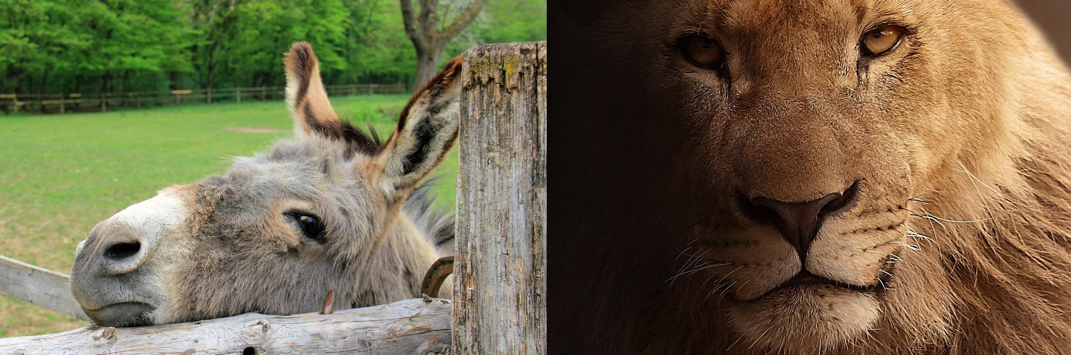 lion-or-donkey